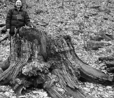 stump of an American chestnut